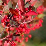 Aronia arbutifolia, ¿por qué vas a plantarla en  tu jardín?