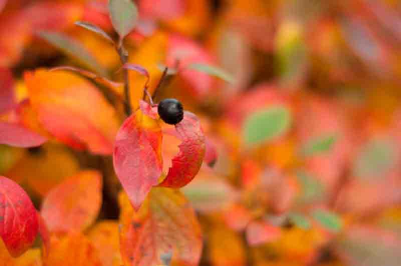 aronia otoño