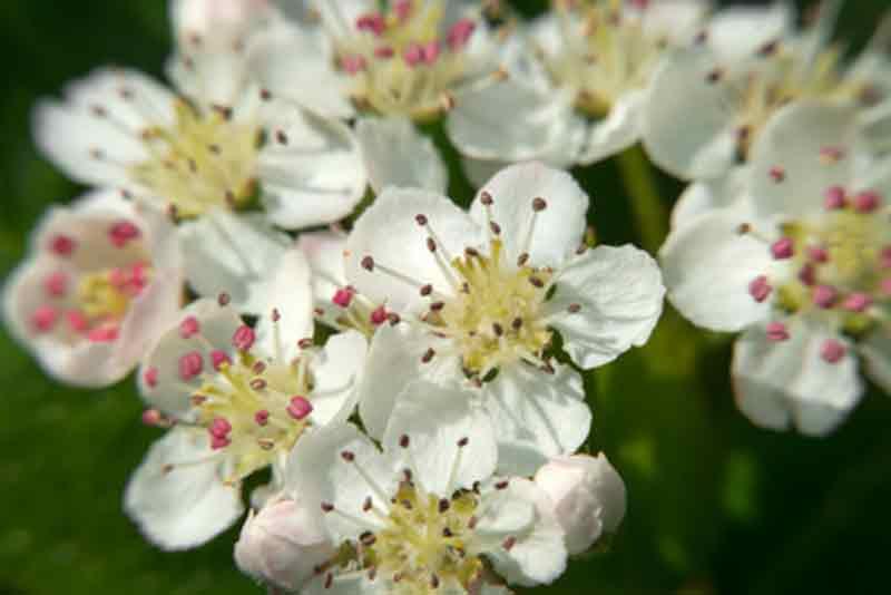 aronia melanocarpa flores